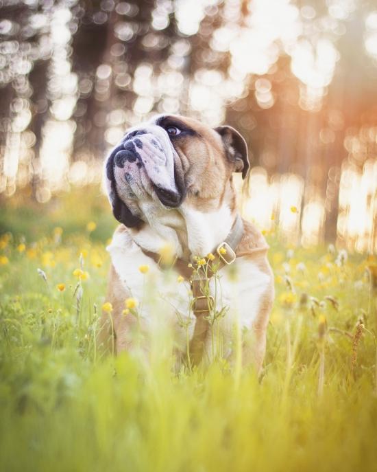 Bloggare   Linn  Elofsson  - Allan Engelsk Bulldog